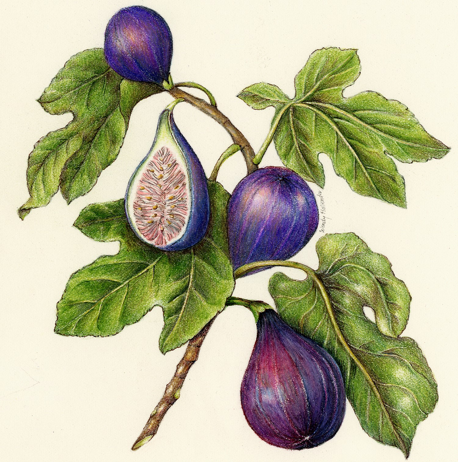 Botanical drawing figs drawing of fruit watercolor colored pencil art